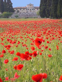 Veneto, Italy - Gorgeous Poppies!