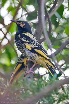 Regent Honeyeater (Anthochaera phrygia) A bird perched