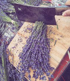 Lavender Harvest Season is upon us. When I have piles and piles of lavender being cut, hung, and dried around the farm, my. Lavender Uses, Lavender Crafts, Lavender Cottage, Lavender Garden, French Lavender, Lavender Scent, Lavender Fields, Lavender Color, Lavender Flowers