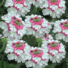 flowersgardenlove: ~ Verbena 'Torsión Rosa Linda Hermosa flores bonitas