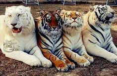 Best Of Cutest Paw TheSnow White,Standard, Golden Tabby and White Bengal tigers.TheSnow White,Standard, Golden Tabby and White Bengal tigers. Majestic Animals, Rare Animals, Animals And Pets, Wild Animals, Fierce Animals, Exotic Animals, Colorful Animals, Zoo Animals, Beautiful Cats
