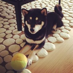 i want a dark colored shiba so much that it hurts. yes, it goes in the dream home.