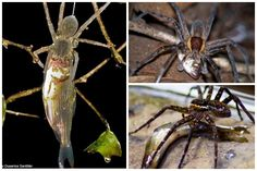 THURSDAY, 19 JUNE 2014  Scientists have discovered fish that eat spiders twice their size exist on every continent except Antarctica.