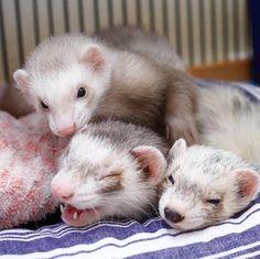 今週もしっかり留守番よろしく! #ferret #pet #petstagram #instaferret #ferretgram