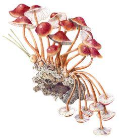 botanical illustration Amanita muscaria - Google Search