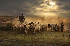Sheep and Shepherd by razaq vance Emotional Photography, Nature Photography, Village Photography, Arabian Art, Sheep Art, Pop Art Wallpaper, Life Pictures, Farm Life, Animals Beautiful