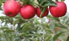 Natural Pesticides For Backyard Fruit Trees