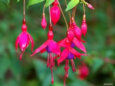 Fuchsia Magellanica 'Gracilis' shows off the delicate flowers which have been referred to as Ladys Eardrops.
