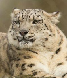 Pseudo-Melanistic ... Partially Black Leopard   MELANISTIC ...