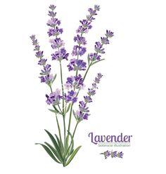 Lavender flowers elements Botanical vector image on VectorStock Illustration Botanique, Plant Illustration, Botanical Illustration, Watercolor Illustration, Lavender Paint, Lavender Flowers, Lavander, Watercolor Flowers, Watercolor Paintings