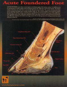 Foundered Hoof Chart - Laminated 8x11 at http://www.hoofprints.com/Foundered-Hoof-Chart-Laminated-8x11/productinfo/HS2/