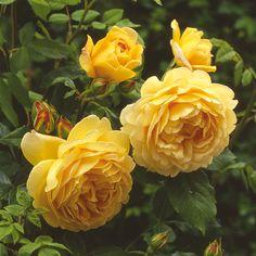 Golden Celebration - David Austin Roses