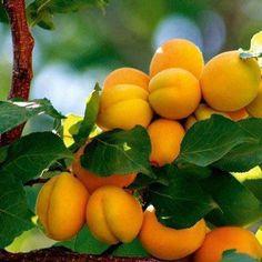 Apricot!