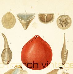 1861 Coquillages Gravure Ancienne Orbigny Original  Histoire Naturelle Lithographie peint à la main terebratule anomia calceole bivalve