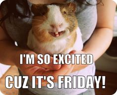 SHARE if you're excited too! The Best Guinea Pig Food Delivered Fresh to… Guinea Pig Quotes, Guinea Pig Food, Cute Guinea Pigs, Animals And Pets, Funny Animals, Cute Animals, Guinnie Pig, Pig Pics, Class Pet
