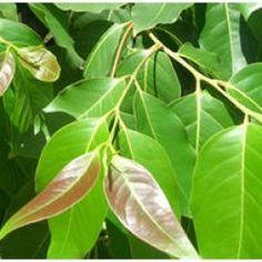 Floral Waters - Cinnamon Leaf Floral Water