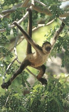Spider monkeys are found throughout the jungles of southern Mexico, I love seeing them at the Crococun Zoo in Puerto Morelos and keep my eyes peeled for them in the jungles!