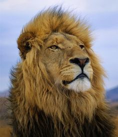 yourstrulyfranca:  beautiful-wildlife:  Male Lion PortraitbyGazali