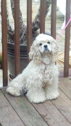 DOG MISSING - ADAMSVILLE, AL (just NW of Bham; Hwy 78)  Sept 30, 2012: Cynthia is a female, silver cocker spaniel who is missing from the Adamsville, AL area.     Contact: 205-533-4495