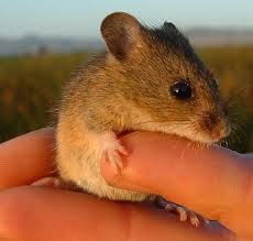 salt marsh harvest mouse - Google Search
