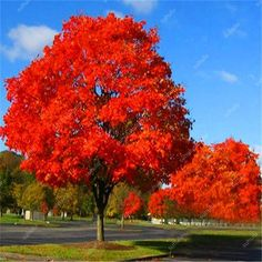 10 pcs American Red Oak Bonsai Quercus tree Perennial Woody plants Courtyard decoration For home garden planting, Easy to Plant - AliExpress Red Oak Tree, White Oak Tree, Red Maple Tree, Garden Trees, Trees To Plant, Garden Plants, Bonsai Seeds, Tree Seeds, Unique Trees