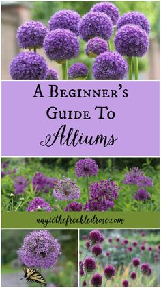 flower garden care A Beginners Guide To Al - Gardening For Beginners, Gardening Tips, Gardening Services, Gardening Courses, Gardening Books, Pot Jardin, Bulb Flowers, Allium Flowers, Top Flowers