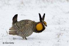 Greater Prairie Chicken (Tympanuchus cupido)One of the oldest known symbols of personal power is the Sacred Spiral. Grouse medicine can be imagined like a whirlpool or a tornado with the spiral taking one to the center. Going to the center will allow for a personal vision or enlightenment of some kind.
