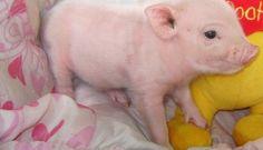 Yoshi Male White Nano Micro Mini - Teacup Pigs For Sale Mini Teacup Pigs, Teacup Pigs For Sale, Young Animal, My Animal, Micro Mini Pig, Tiny Pigs, Baby Animals, Cute Animals, Pot Belly Pigs