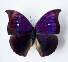 real purple butterflies | Real Purple Butterfly