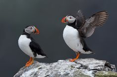 Puffin Greetings by Richard Steel on 500px