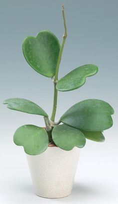 I'm pretty sure my next plant baby will be the lovely Hoya kerrii