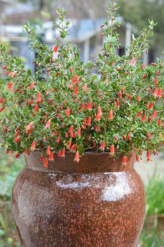 Correa 'Ring a Ding Ding' An improved form of a classic native favourite. Australian Native Garden, Garden Makeover, Organic Gardening Tips, Orange Flowers, Container Plants, Raised Garden Beds, Winter Garden, Native Plants, Hedges