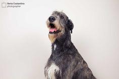 Irish Wolfhound - Will Scarlet dei Mangialupi by Ilenia Costantino #animals #dogs #irishwolfhound