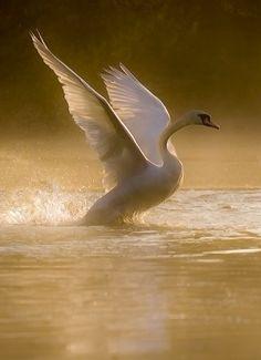 Swan #photography #fauna #birds #swans