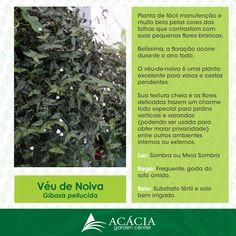 140413-como-cuidar-veu-de-noiva-ficha-tecnica-web-acacia-garden-center