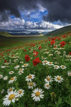 #castelluccio #italy #daisies by Luca Cruciani