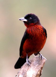 The Silver-beaked Tanager (Ramphocelus carbo) is a medium-sized passerine bird. This tanager is a resident breeder in South America from eastern Colombia and Venezuela south to Paraguay and central Brazil, and on Trinidad.