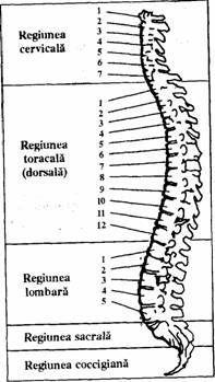 Spate – A treia vertebra dorsala – Cauzele subtile ale imbolnavirii Good To Know, Oxford Shoes, Health, Life Hacks, Fitness, Medicine, Diet, Reading, Anatomy