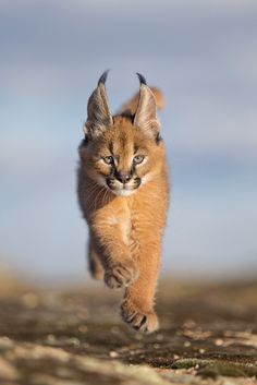Delightful 6 week-old caracal cub in a hurry. The caracal (Caracal caracal) is a… Delightful 6 week-old caracal cub in a hurry. The caracal (Caracal caracal) is a medium-sized wild cat native to Africa, the Middle East, Central Asia, and India. Rare Cats, Exotic Cats, Beautiful Cats, Animals Beautiful, Beautiful Pictures, Big Cats, Cats And Kittens, Cats Meowing, Cats Bus