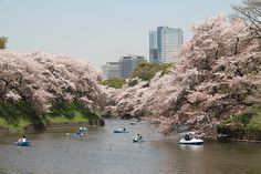 one of Tokyo's most outstanding cherry blossom sights - Hundreds of cherry trees decorate the moats of former Edo Castle around Kitanomaru Park