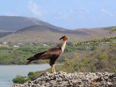 Auf, in die Karibik: Curacao - Roadtrippin' Strand, Bird, Animals, Caribbean, Island, Landscape, Nature, Animales, Animaux