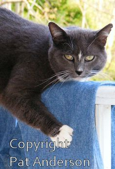 ACEO  Gray Kitty Cat  color photograph  glossy by seahorsestudios, $2.99