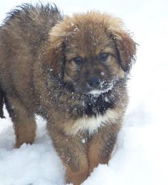 Meet TICK, he is a 9 week old baby Great Pyrenees/Newfoundland looking for a family. Tick will be a BIG boy.  This puppy will need a nice big back yard or a family that is very active outside and can exercise this guy in other ways. Interested in adopting or meeting Tick? Learn more about him on his profile at http://www.animalrescueoftherockies.org/animals/detail?AnimalID=4307370
