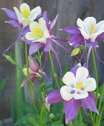 Resultado de imagem para columbine flower