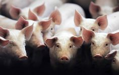 Should we transplant pig organs into humans? With a breakthrough in gene editing, the prospect of breeding animals to harvest their organs looms. (The Guardian) Cells Activity, Scientific American, Learn To Love, Animal Welfare, The Guardian, Funny Animals, Laughter, Creatures, This Or That Questions