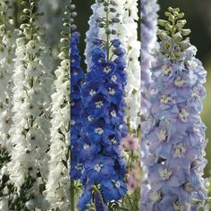 Buy delphinium collection Delphinium 'guardian collection': Delivery by Waitrose Garden in association with Crocus