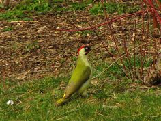 #greenwoodpecker never seen a green woodpecker until last year. Now see them quite often :) #birds #wildlife #photography