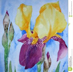 watercolor iris paintings | Watercolour painting on artist paper, created by the photographer.
