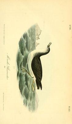 v.7 (1844) - The birds of America : - Biodiversity Heritage Library