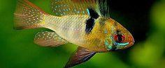 Pielęgniczka Ramireza - Pielęgniczki Ramirezi - ryby akwariowe